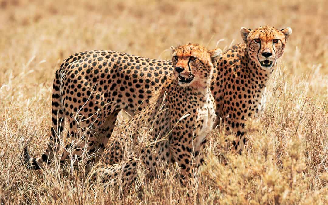 Cheetah's Rock – Wo der enge Kontakt zu Geparden zur Realität wird